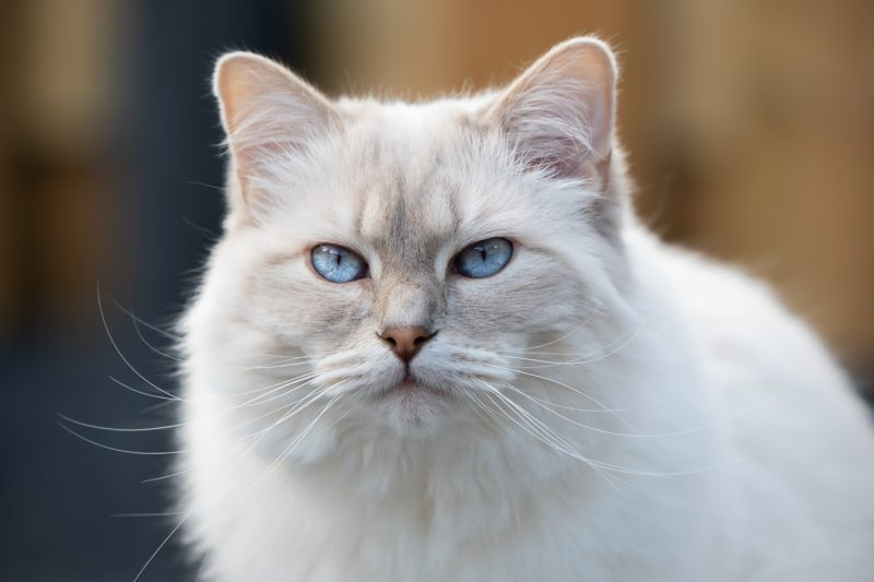 Kattenfotograaf, Kattenfotografie, Katten, Kat, Fotograaf, Fotografie, Oosterhout, Brabant, Noord-Brabant, Breda, Omgeving, Dierenfotograaf, Dierenfotografie, Dieren