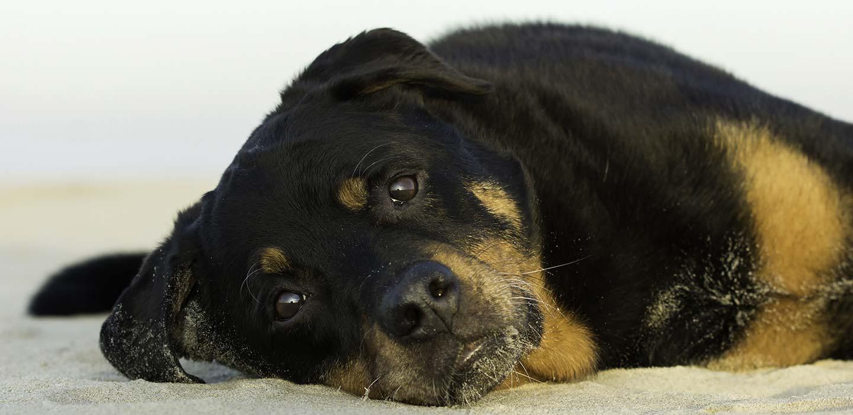 Mikka Fotografie, Rottweiler, Hond, Voorstellen, Fotograaf, Oosterhout